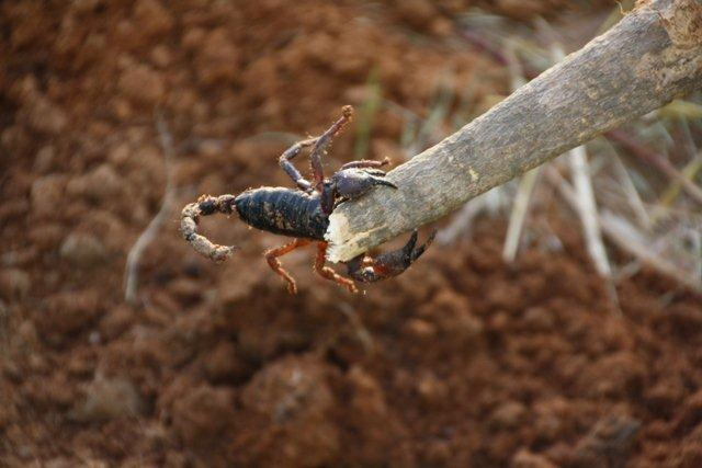 escorpion_tanzania